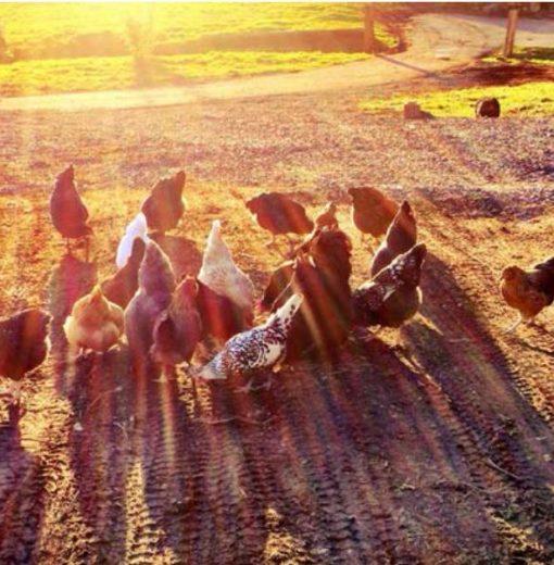Chickens Sun