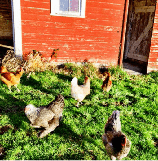 Chickens Free Range